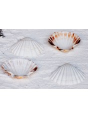 PEKTEN SCALLOP 4-4.5 INCHES