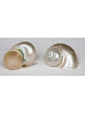 TURBO BOUR PEARL 3.5-4 INCHES