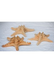 STARFISH FILIP 6-8 INCHES