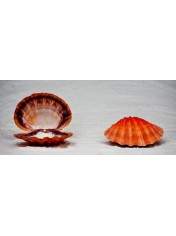 LAINS PA PAIR ORANGE 5-5,5 INCHES