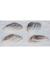 BROWN MUSSEL PAIR PEARL 6-6,5 INCHES