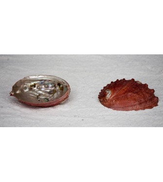 ABALONE SORINENSIS RED 5-6