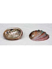 ABALONE SORINENSIS GREEN RED 4.5 INCHES