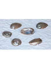 ABALONE FULL PERLE 3.5-4 INCHES