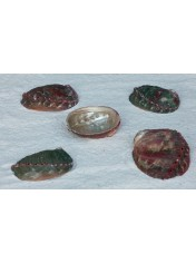 NATURAL ABALONE ASSIMILIS 4-5 INCHES