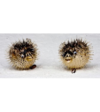HEDGEHOG 7-9 INCHES