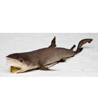 SHARK 30-32