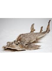 ΚΑΡΧΑΡΙΑΣ SHARK RAY 36-38
