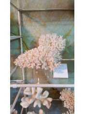 SEA CORAL LASE 7-8 INCHES