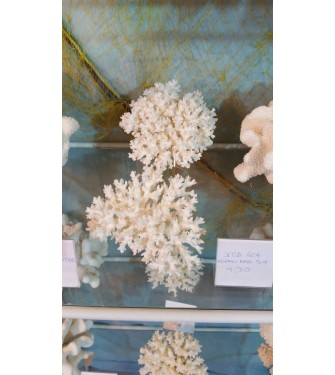 SEA CORAL LASE 5-7 INCHES