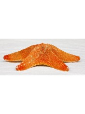 STARFISH MAT 8-10 INCHES