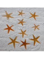 STARFISH FLAT 2-3 INCHES